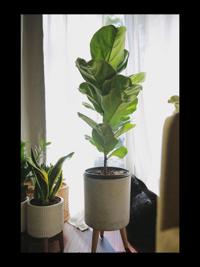 家居绿植|琴叶榕真是绿植届的仙女了...