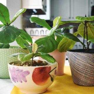 「我家的植物2」幼崽琴叶榕🌳...