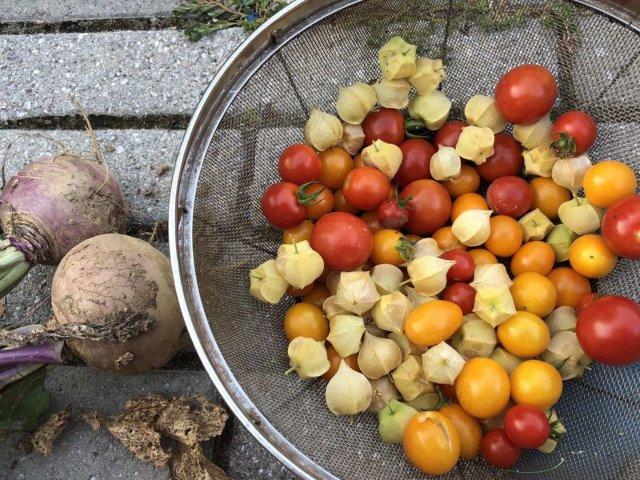 番茄种植日记3