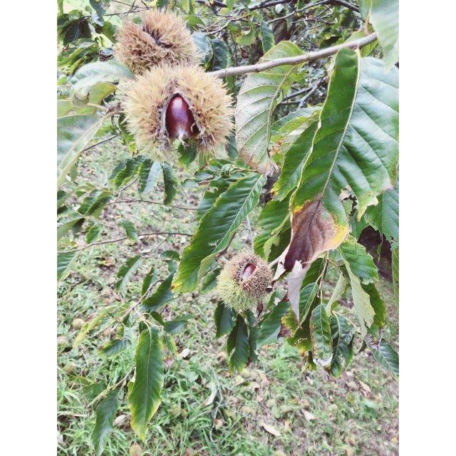 丰收的季节👉秋天,是时候去捡栗子了