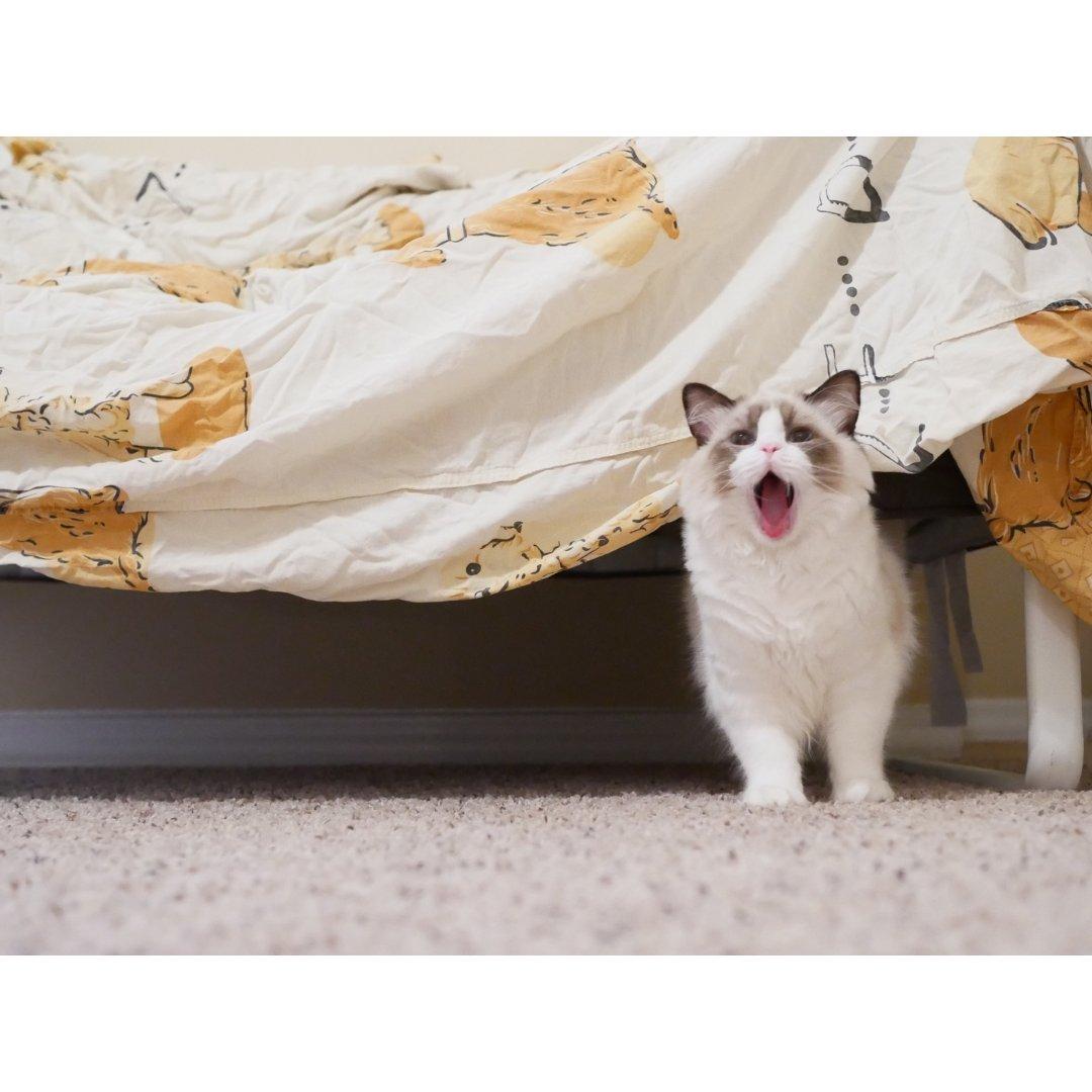 布偶日记:给点儿猫薄荷就瘫倒的Ba...