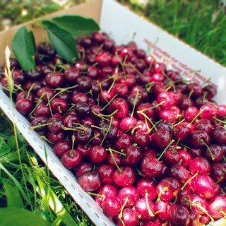 D3 纽约附近的樱桃🍒采摘园...