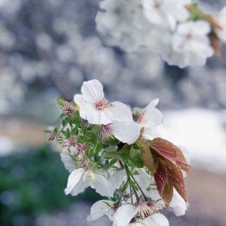 四月雪中赏花