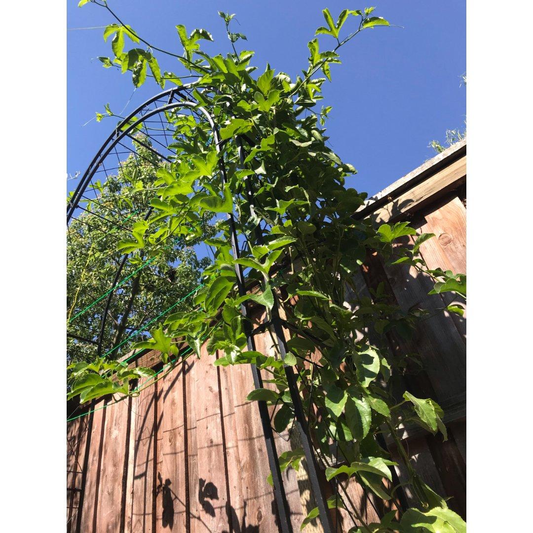 下半年09:百香果快快长大!