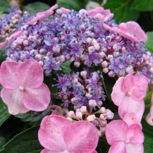 Proven Winners 4.5 in. qt. Let's Dance Starlight Bigleaf Hydrangea (Macrophylla) Live Shrub, Blue or Pink Flowers-HYDPRC3017800 - The Home Depot
