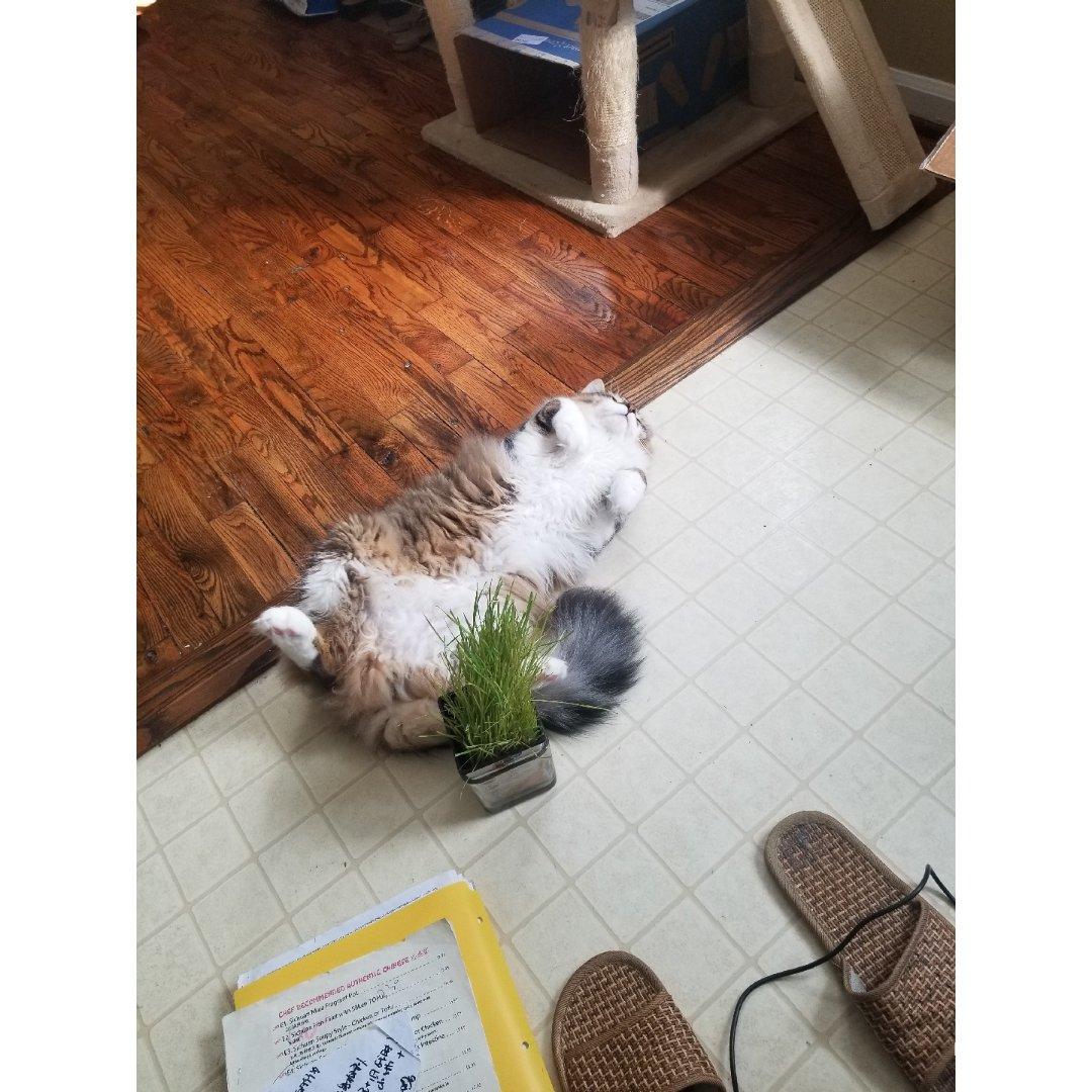 养猫小日常:之前猫草来时弟弟的照片1