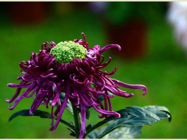 11-11: 1⃣️妩媚优雅的秋菊🌼