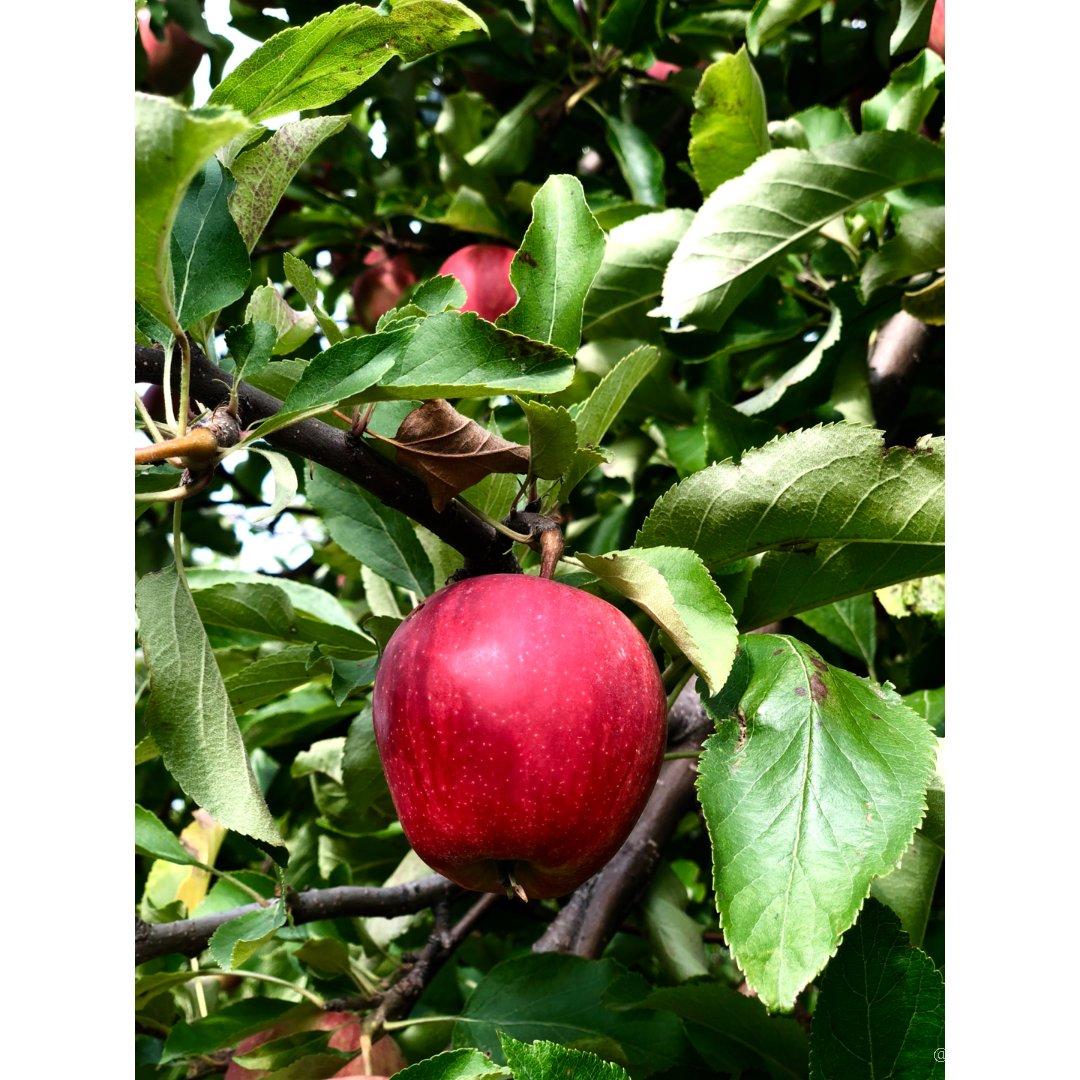 初秋的小乐趣🍎周末带着家人采苹果吧