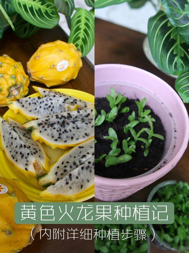火龙果种植记👉🏻手把手教程