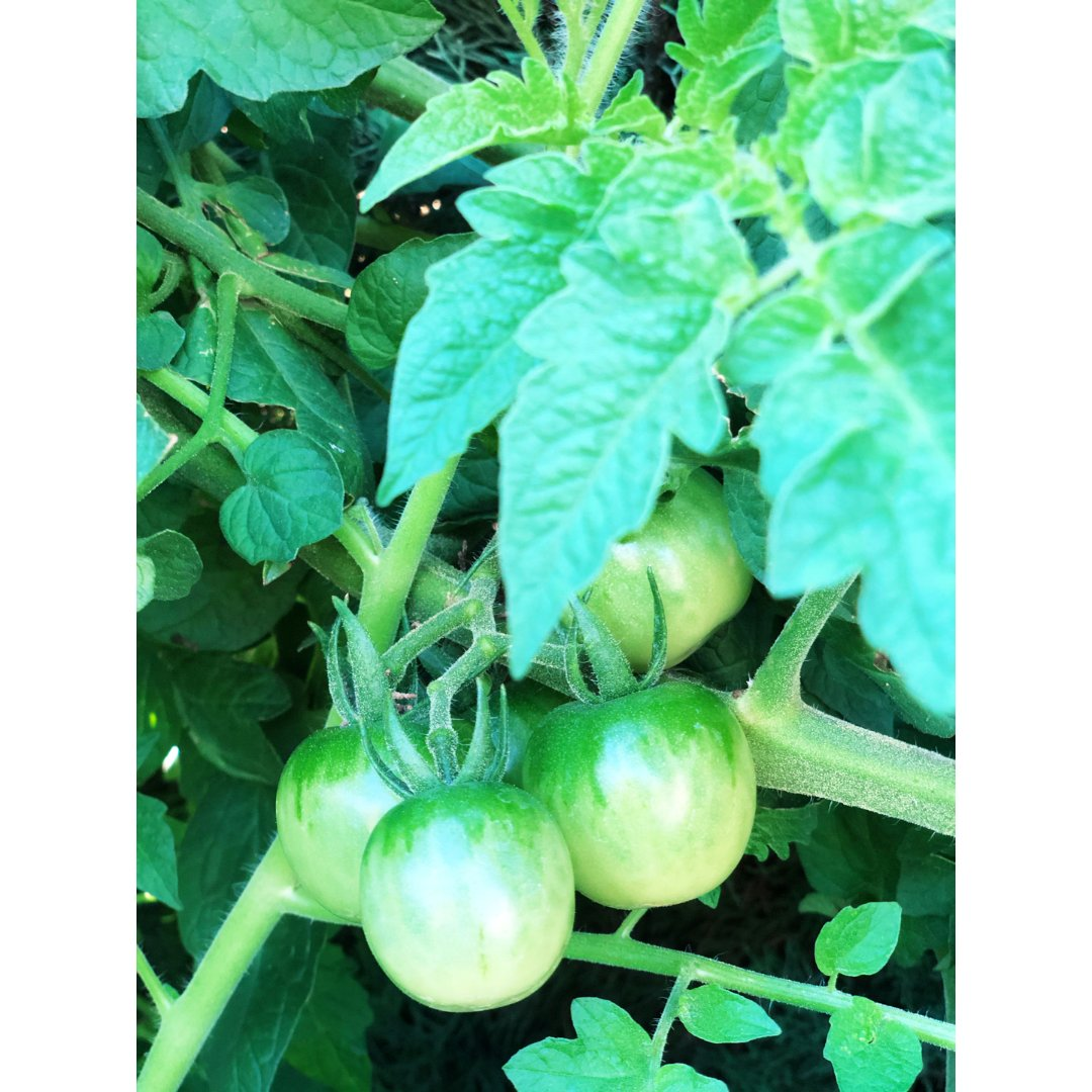 生菜🥬西红柿🍅