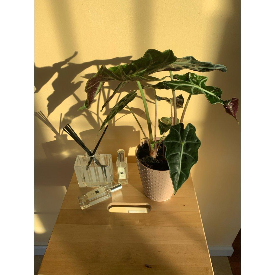 新增绿植——黑叶观音莲
