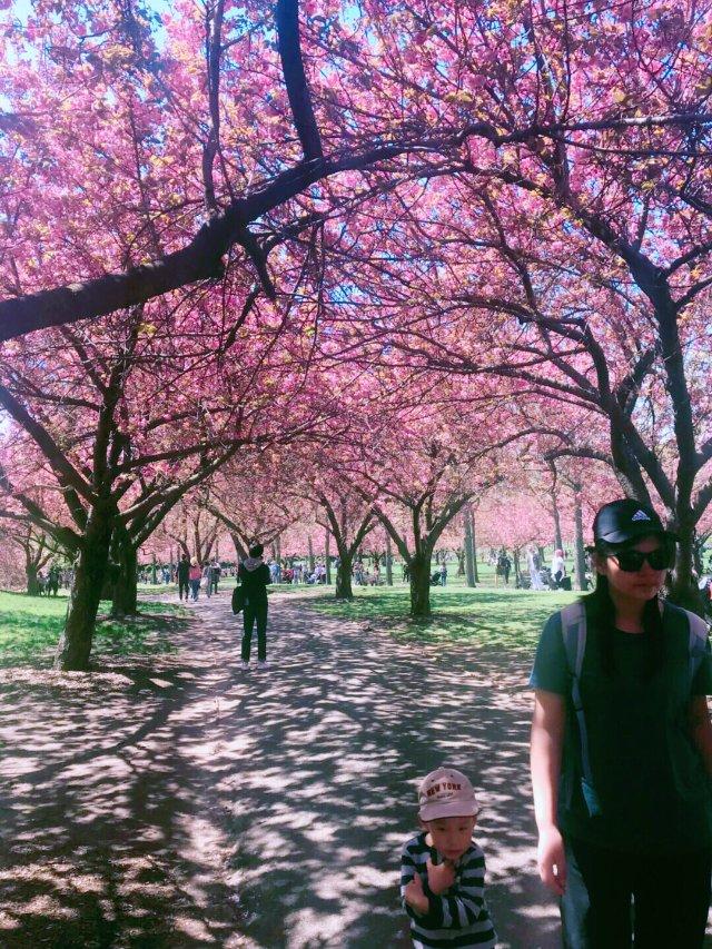赏樱季节,去不了华府,来布鲁克林植...