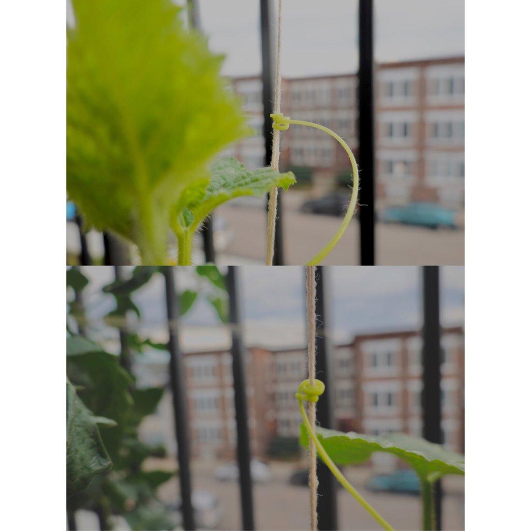 🍈爬藤的香瓜苗update🌿