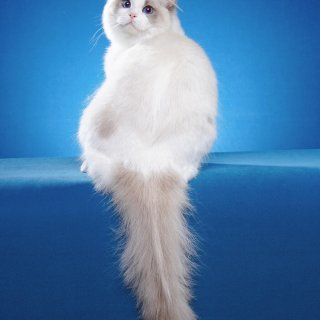 baobao的好基友:蓝双布偶猫Hone...