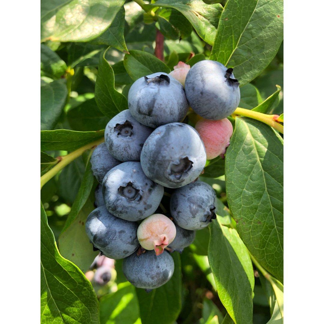 一起來擺攤 💙 藍莓