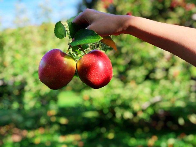一天一个苹果,医生远离我