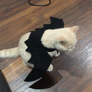 小猫咪万圣节costume...