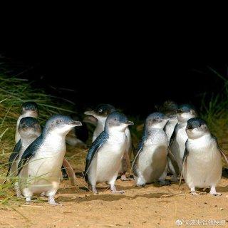今晚6点一起云看小企鹅回巢直播呀...