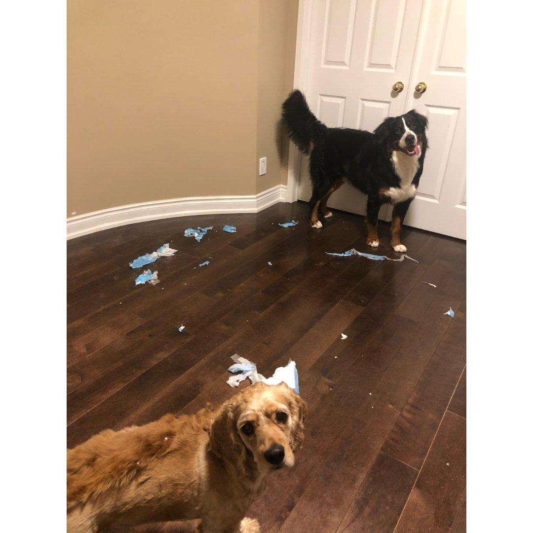 解封在即!家里的狗狗已憋疯!