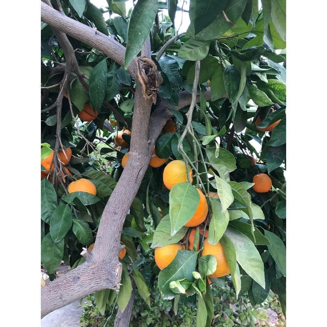 满树柑橘🍊