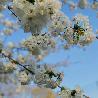 伦敦樱花|Battersea Park ...