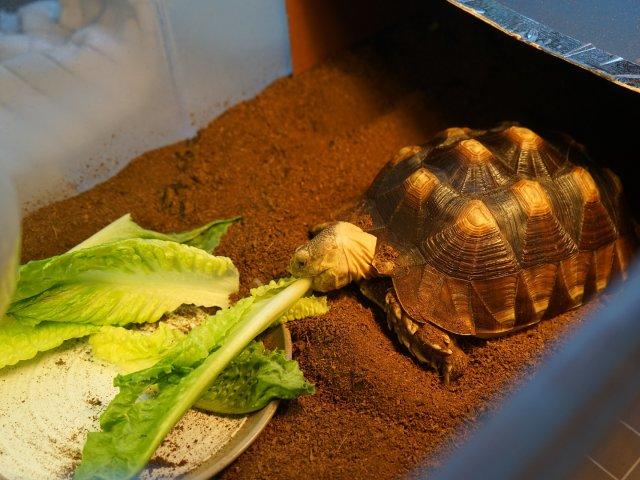 饿了就要多吃,直播正在吃饭的龟宝宝