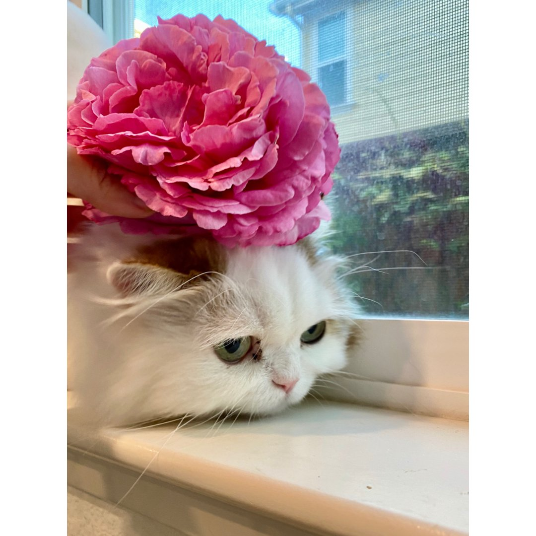 卖猫咪的小玫瑰
