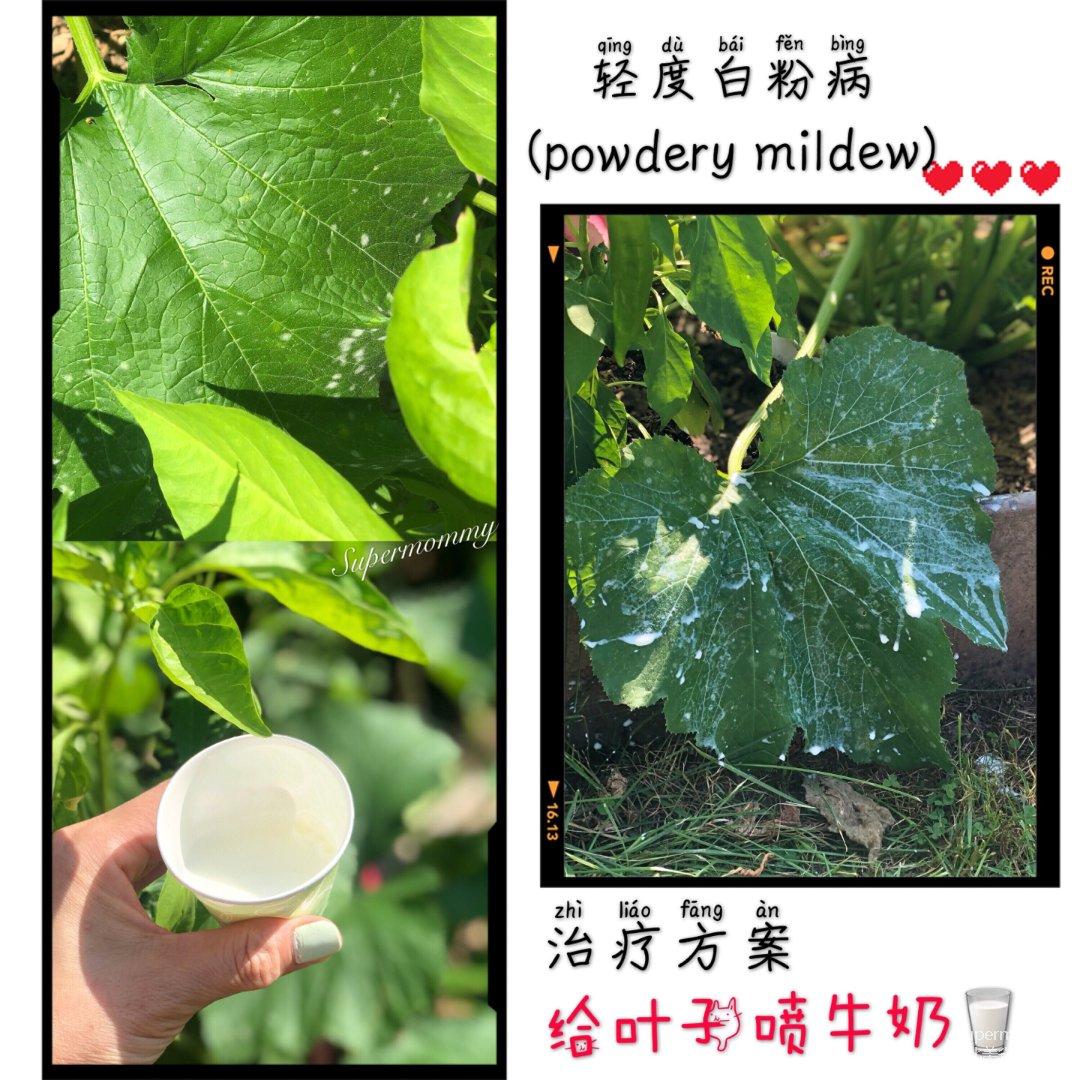 """❤️【生活小撇步】蔬菜/花卉""""白粉..."""