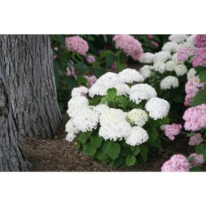 Proven Winners Invincibelle Wee White Smooth Hydrangea Live Shrub White Flowers 1 Gal.-HYDPRC1176101 - The Home Depot
