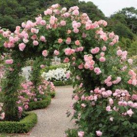 English Rose Climbers - David Austin Roses