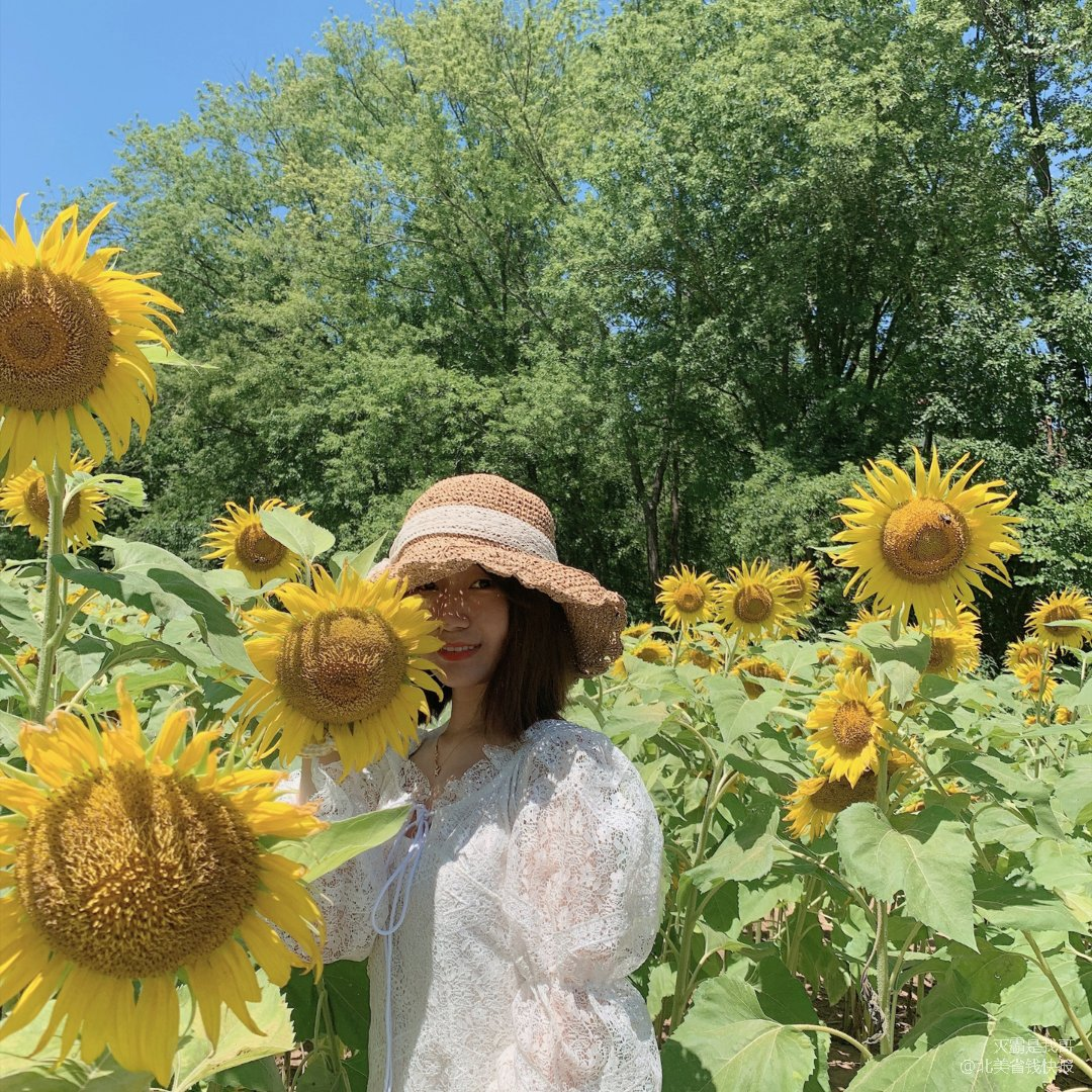 马里兰向日葵🌻打卡
