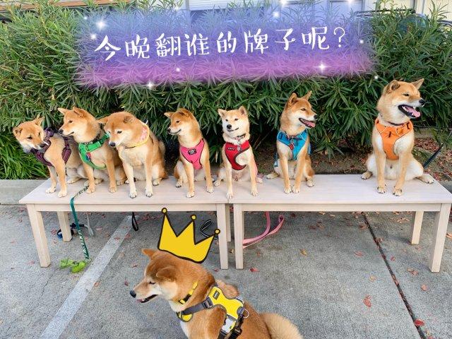 彩虹柴犬糖🌈