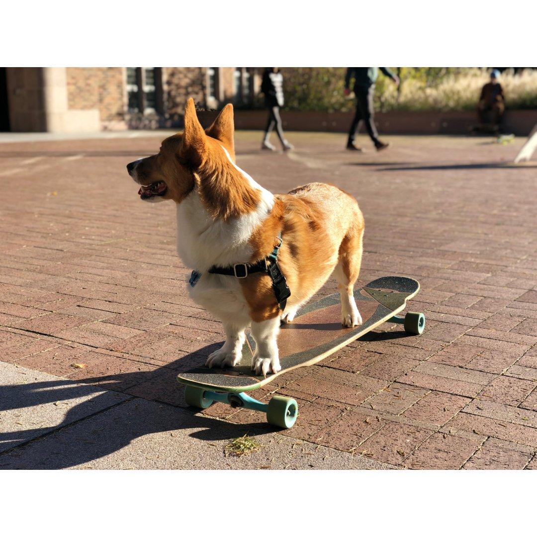 会滑滑板的柯基