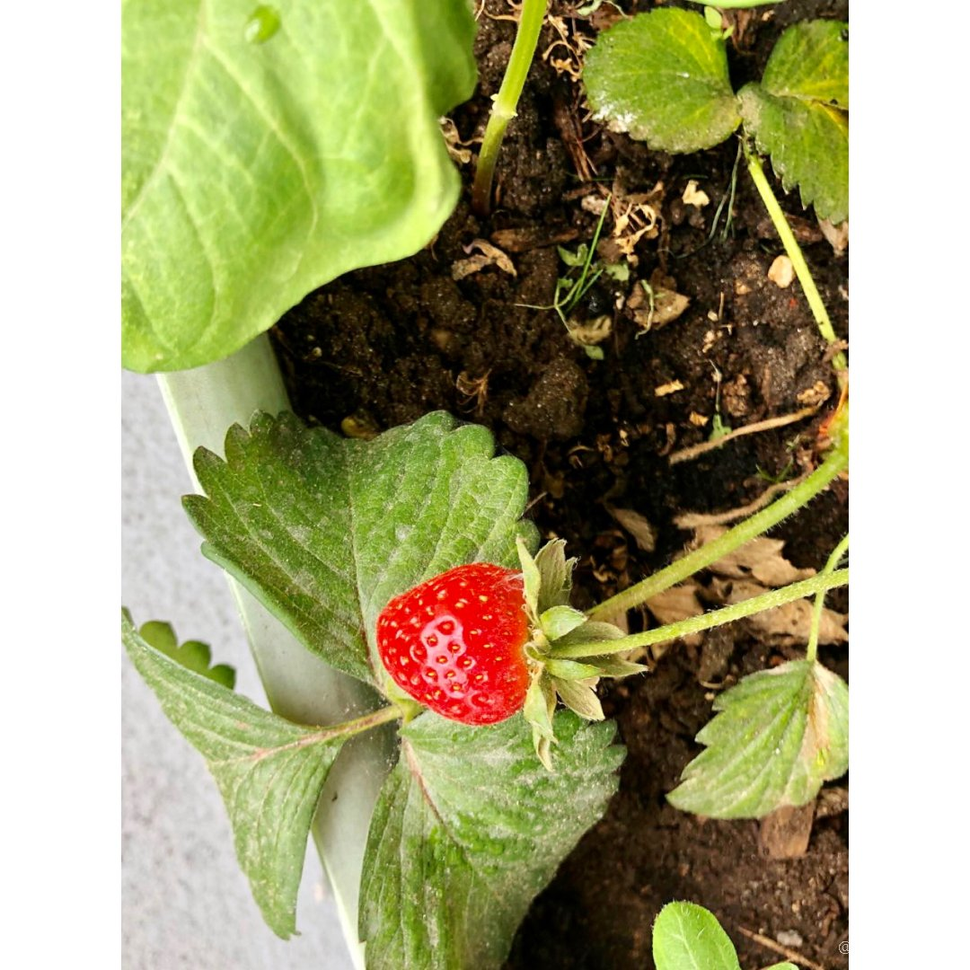 阳台上花盆里种草莓