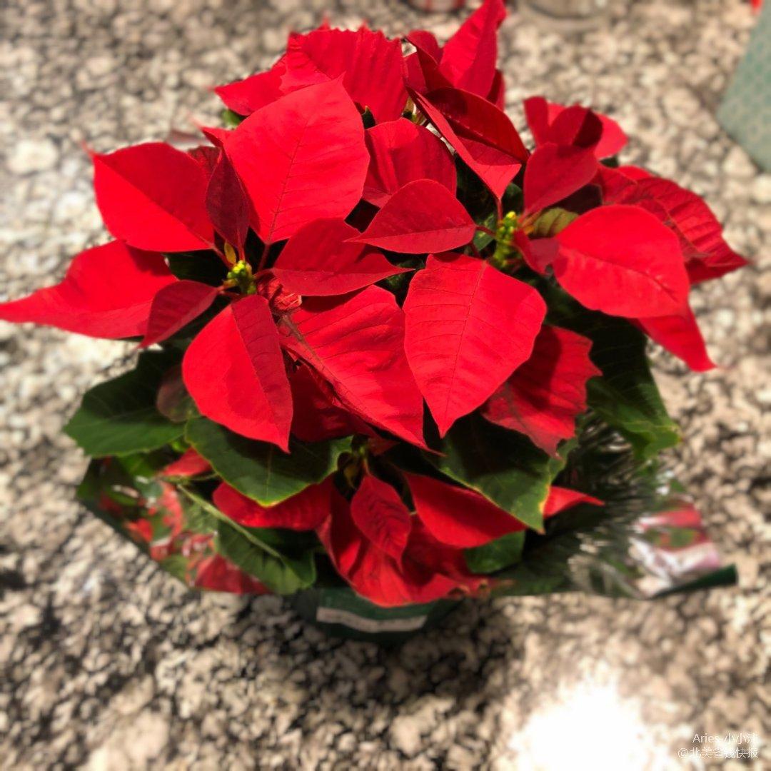 Walmart(`・⊝・´)圣诞花🌸