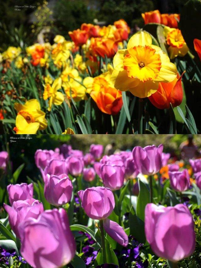 北卡·杜克花园 | 惜春光明媚,赏...