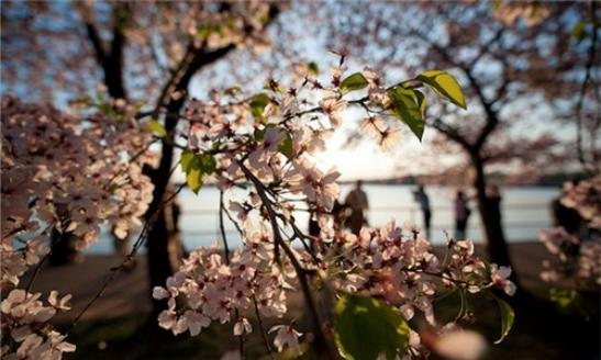 Travel Package @ woqu.comUp to 20% Off! Cherry Blossom Festival