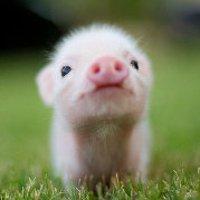 小猪喽喽喽