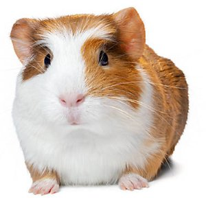 Female Guinea Pig For Sale | Live Small Pets | PetSmart