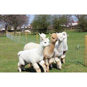 Buyagift羊驼农场旅行(2名成人+2名儿童)