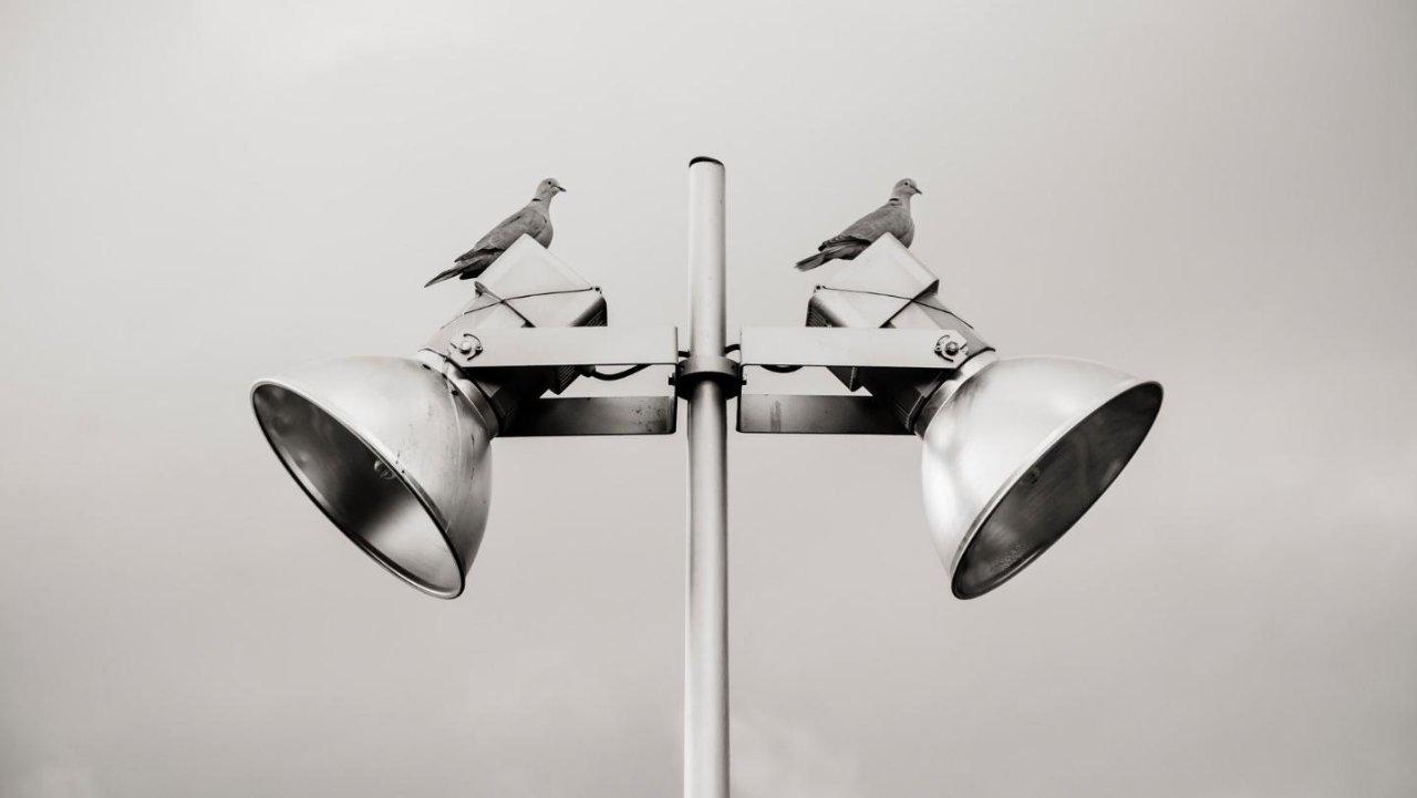 鸽子和鸽子之间有什么区别?DOVE VS. PIGEON