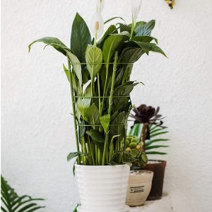$7.99YiTai Plant Support Cages 17.7 Inches Plant Cages with 3 Adjustable Rings