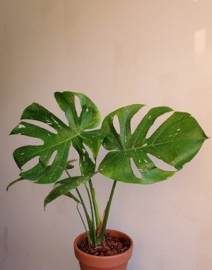 MONSTERA THAI CONSTELLATION (TC) – Peace, Love & Happiness Club