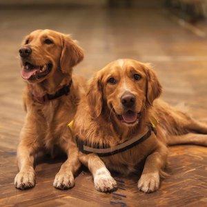 金毛家长必备清单宠物知多少 金毛寻回犬饲养大全