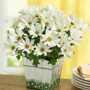 Happy Daisy Plant