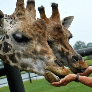$18.36(原价$34.95)Safari Niagara 尼亚加拉野生动物园门票特价 家庭游玩好去处