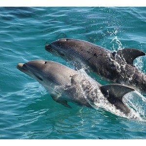 $39(原价$60)与海豚近距离接触Moonraker Charters 寻海豚之旅团购