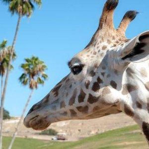 $38.08起  世界上最大的动物园之一加州圣地亚哥动物园 San Diego Zoo 门票