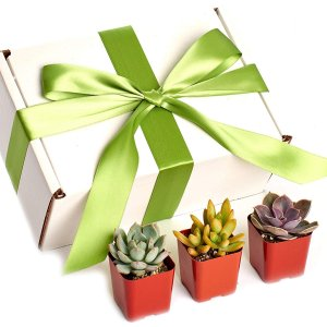 Shop Succulents Premium Pastel Collection of Live Succulent Plants in Gift Box