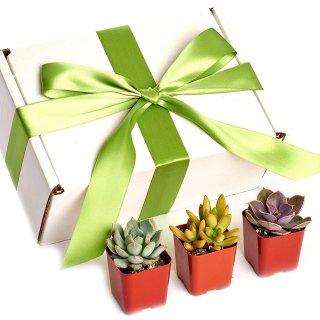 Shop Succulents Premium Pastel Collection of Live Succulent Plants in Gift Box